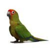 Conures for sale at Camsal Aviaries