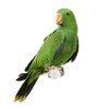 Camsal Parrots for sale